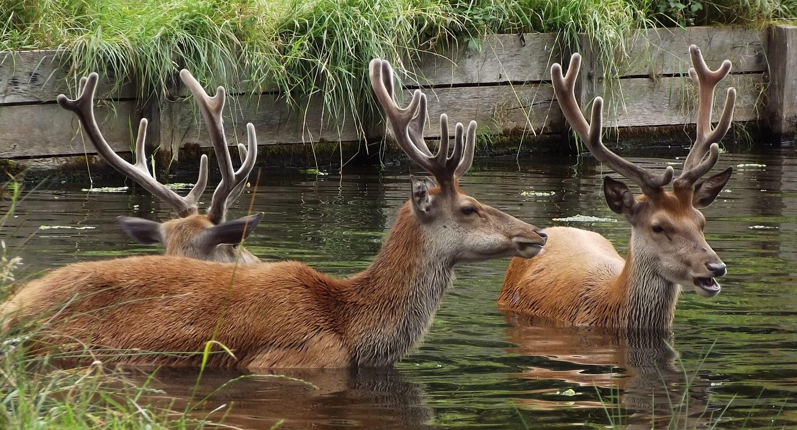Red Deer | Deer