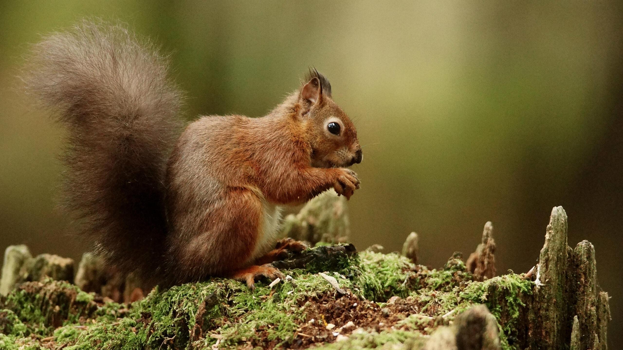 Brownsea Island Squirrel 2 | Brownsea Island
