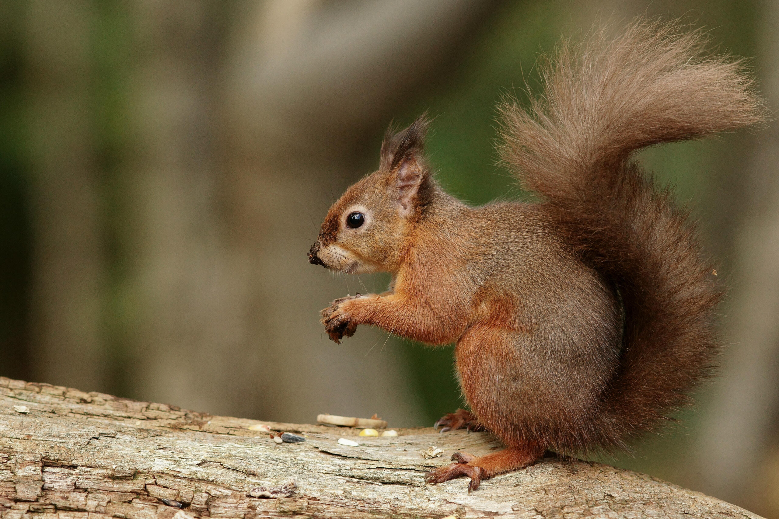 Brownsea Island Squirrel 1 | Brownsea Island