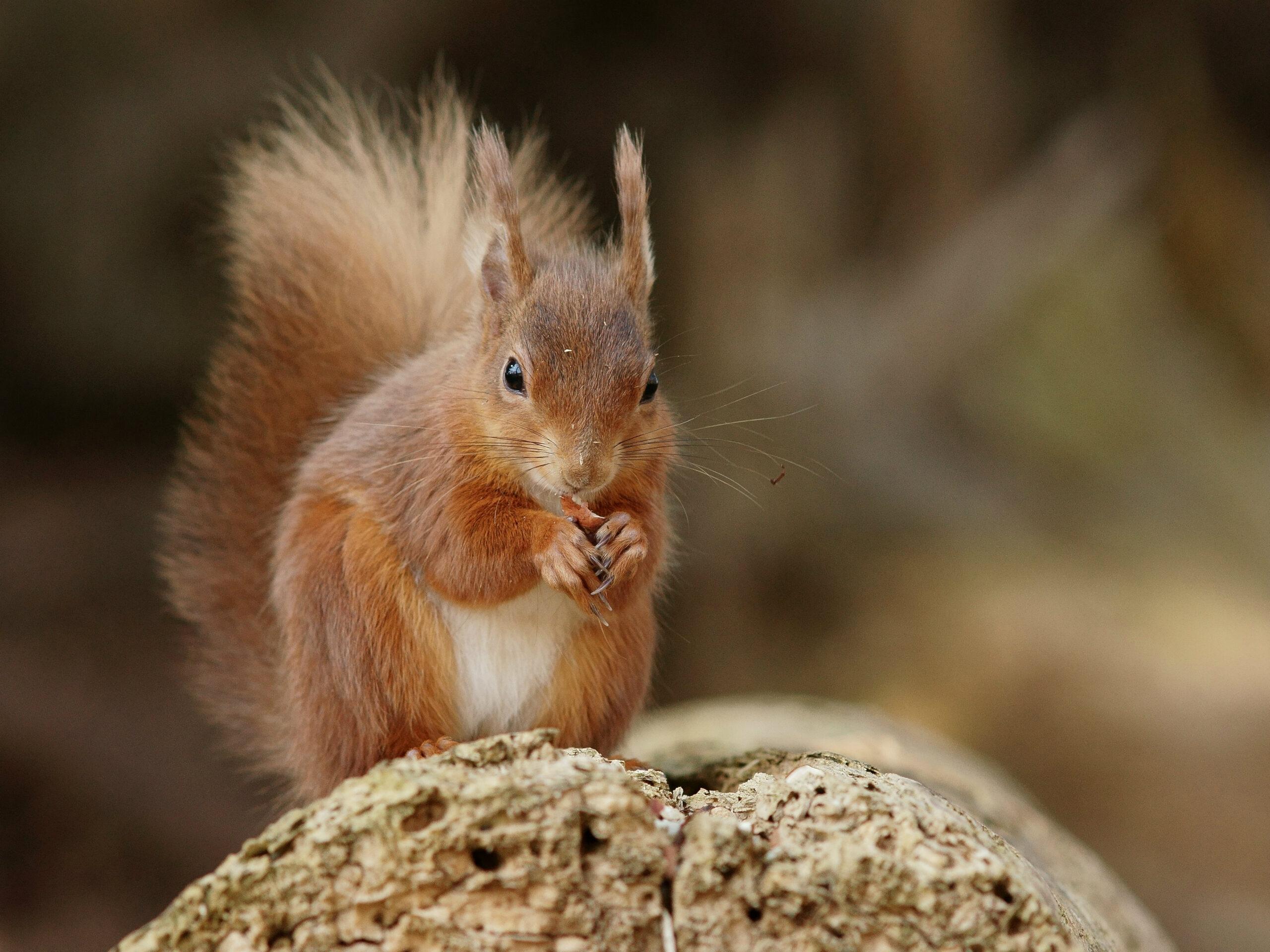 Brownsea Island Squirrel 4   Red Squirrels