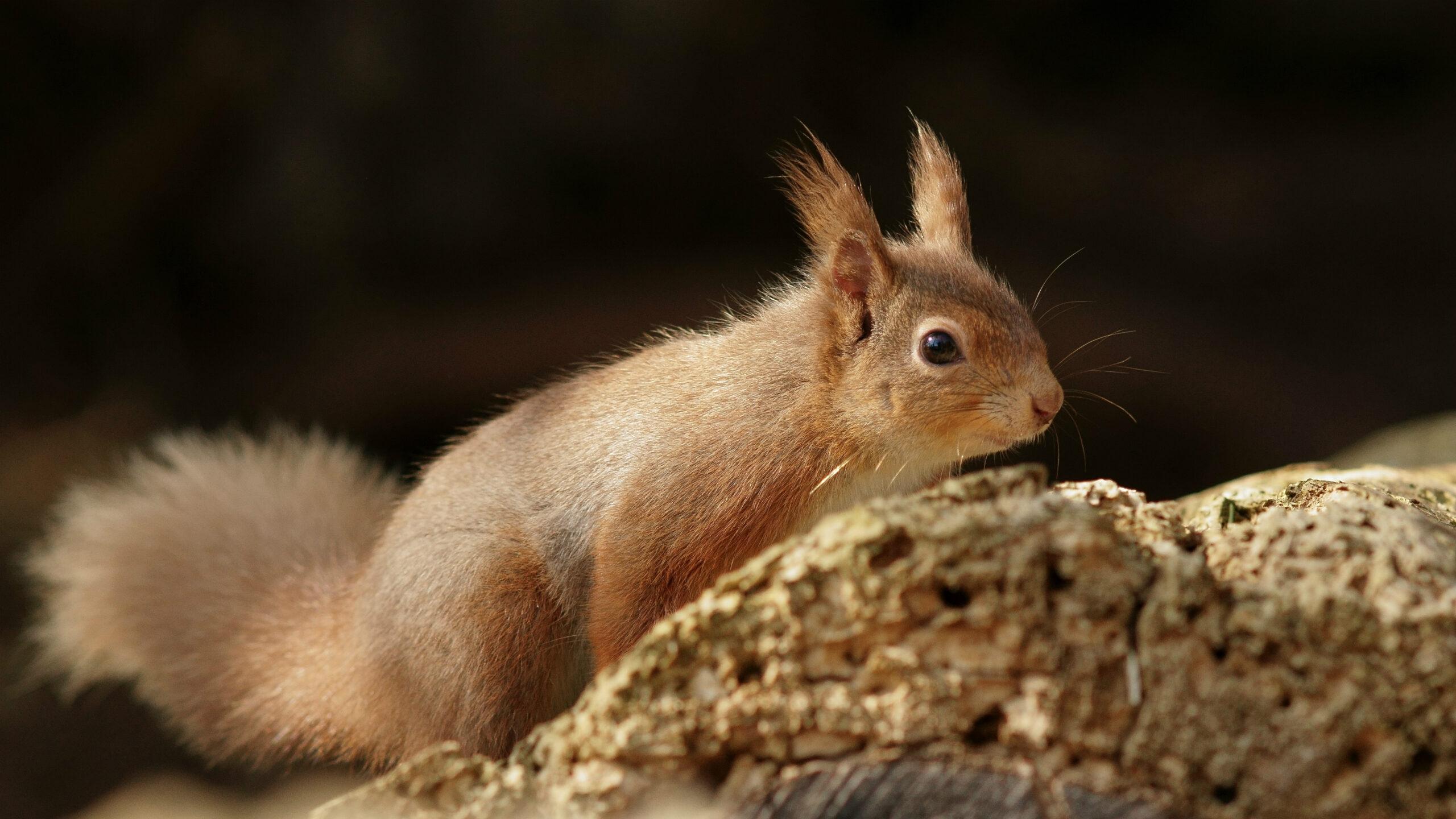 Brownsea Island Squirrel | Brownsea Island