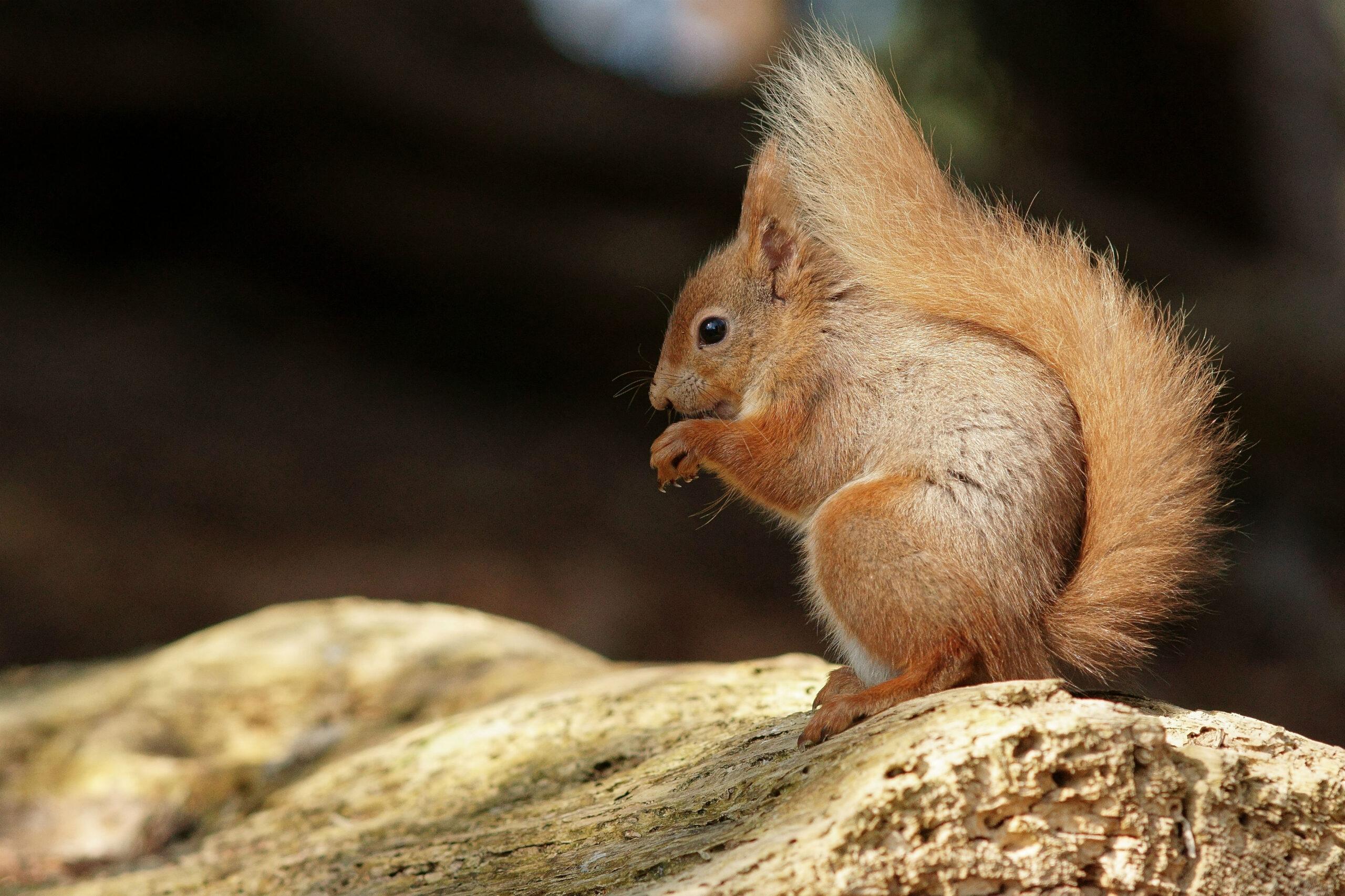 Brownsea Island Squirrel 6   Red Squirrels