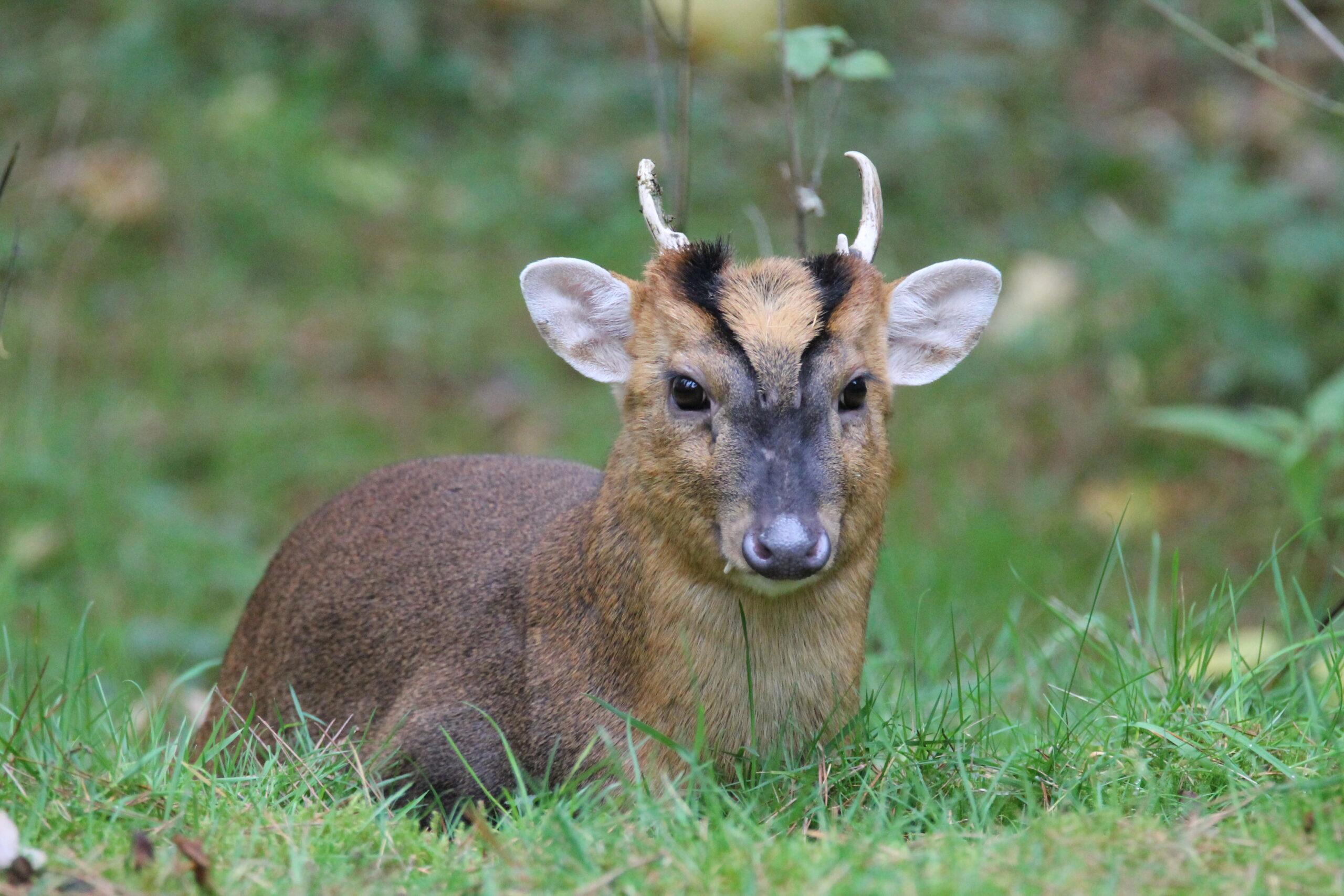 Muntjac Deer | Deer