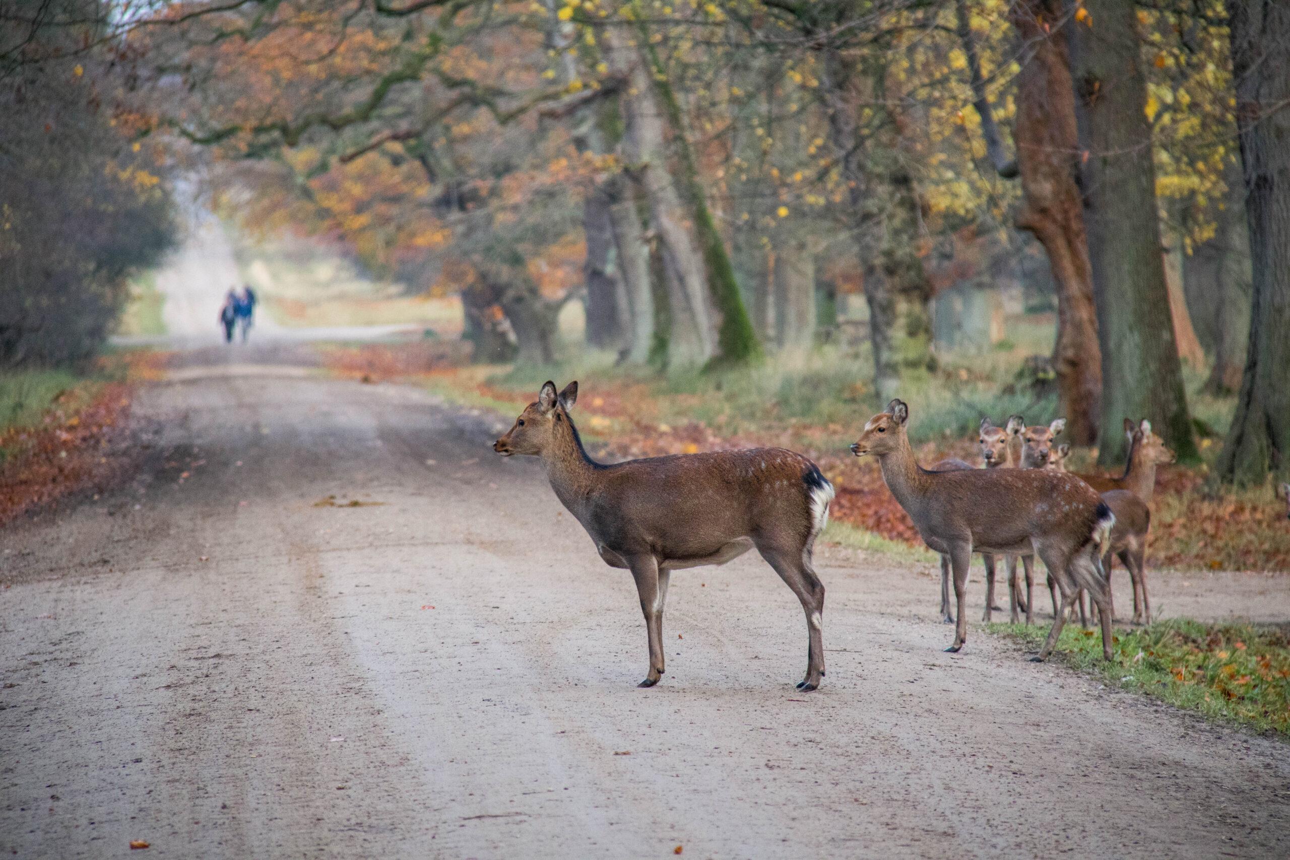 Deer | Deer