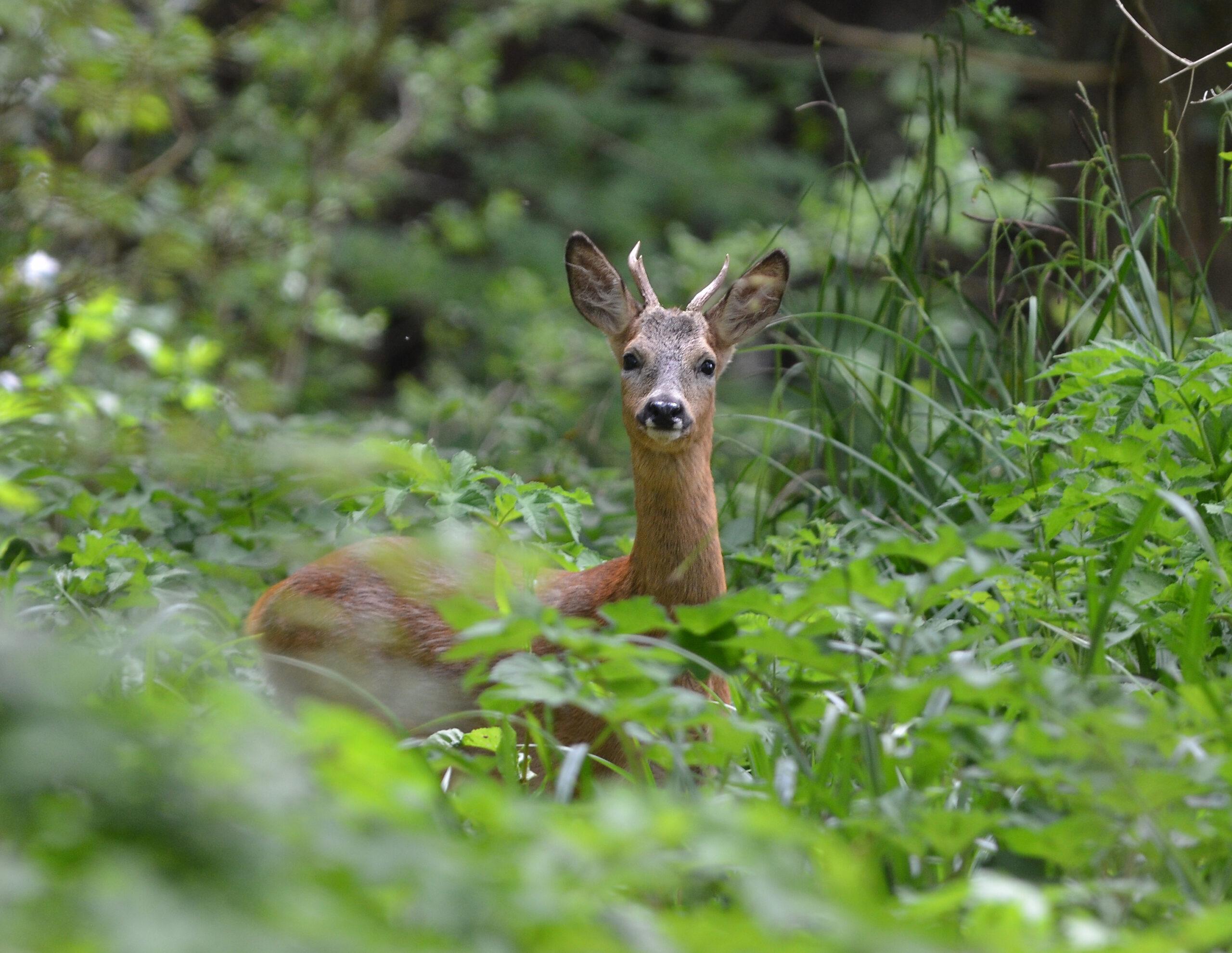 Roe Buck | Deer