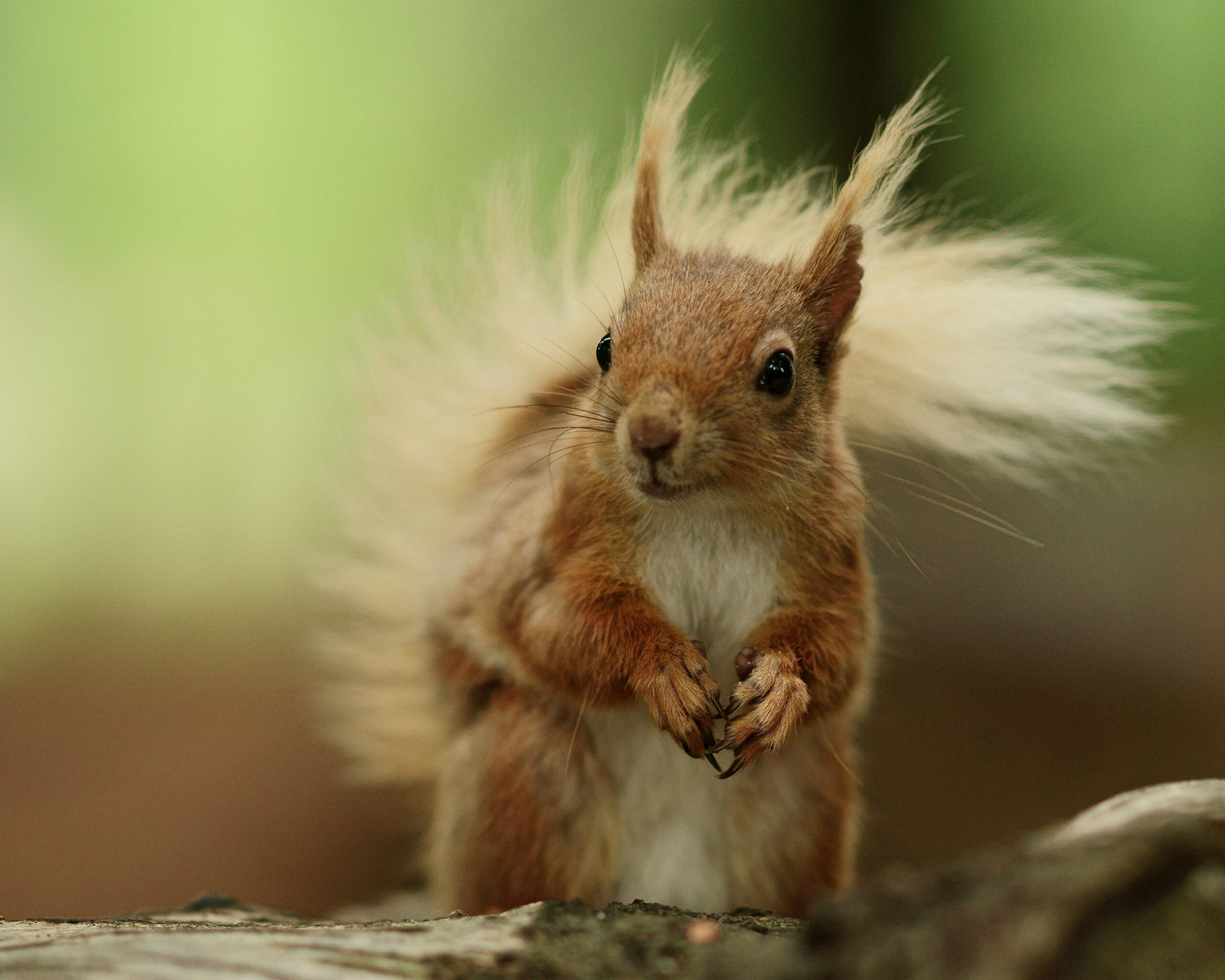 Brownsea Island Squirrel 5   Red Squirrels