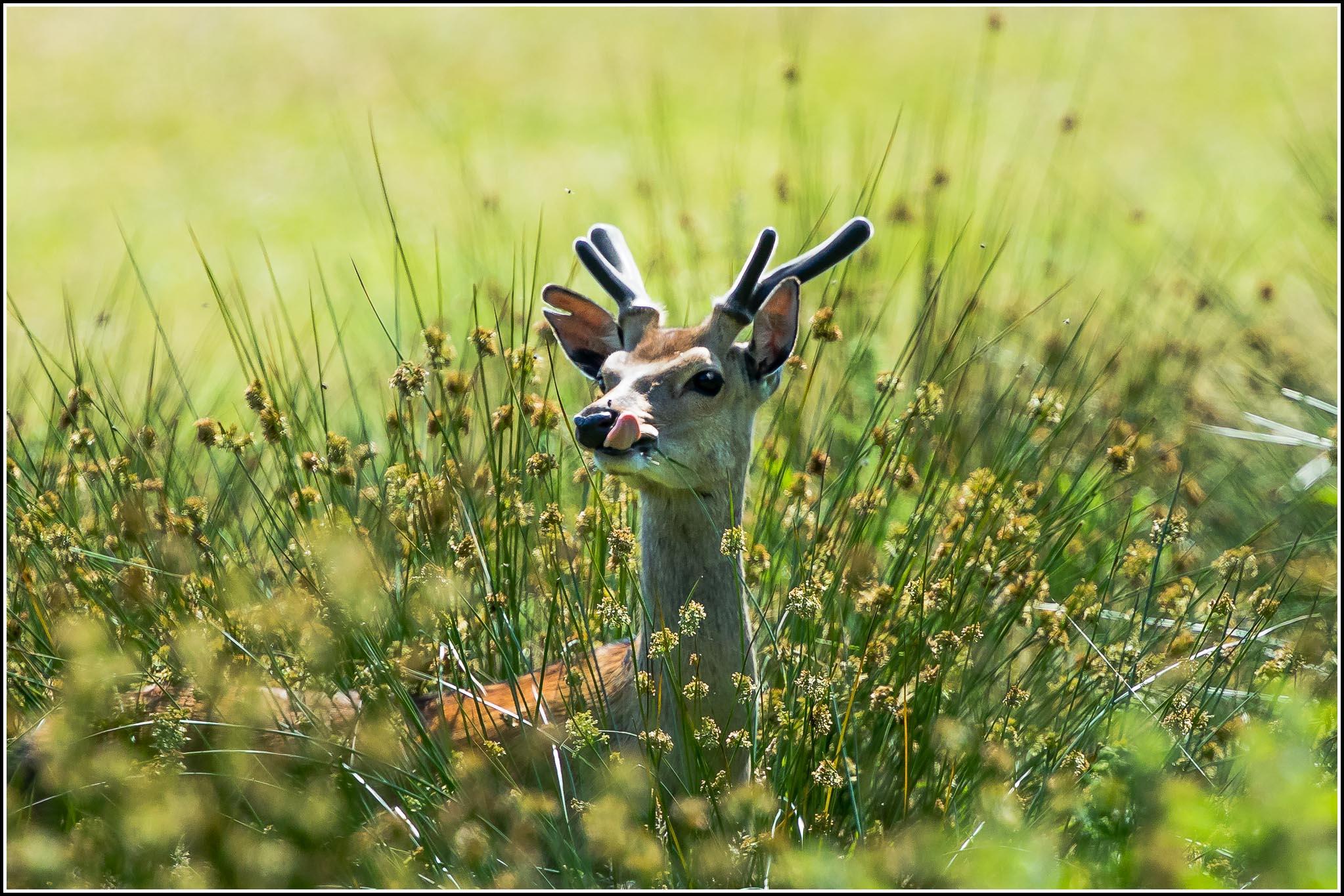 Sika Deer (Cervus nippon) | Deer