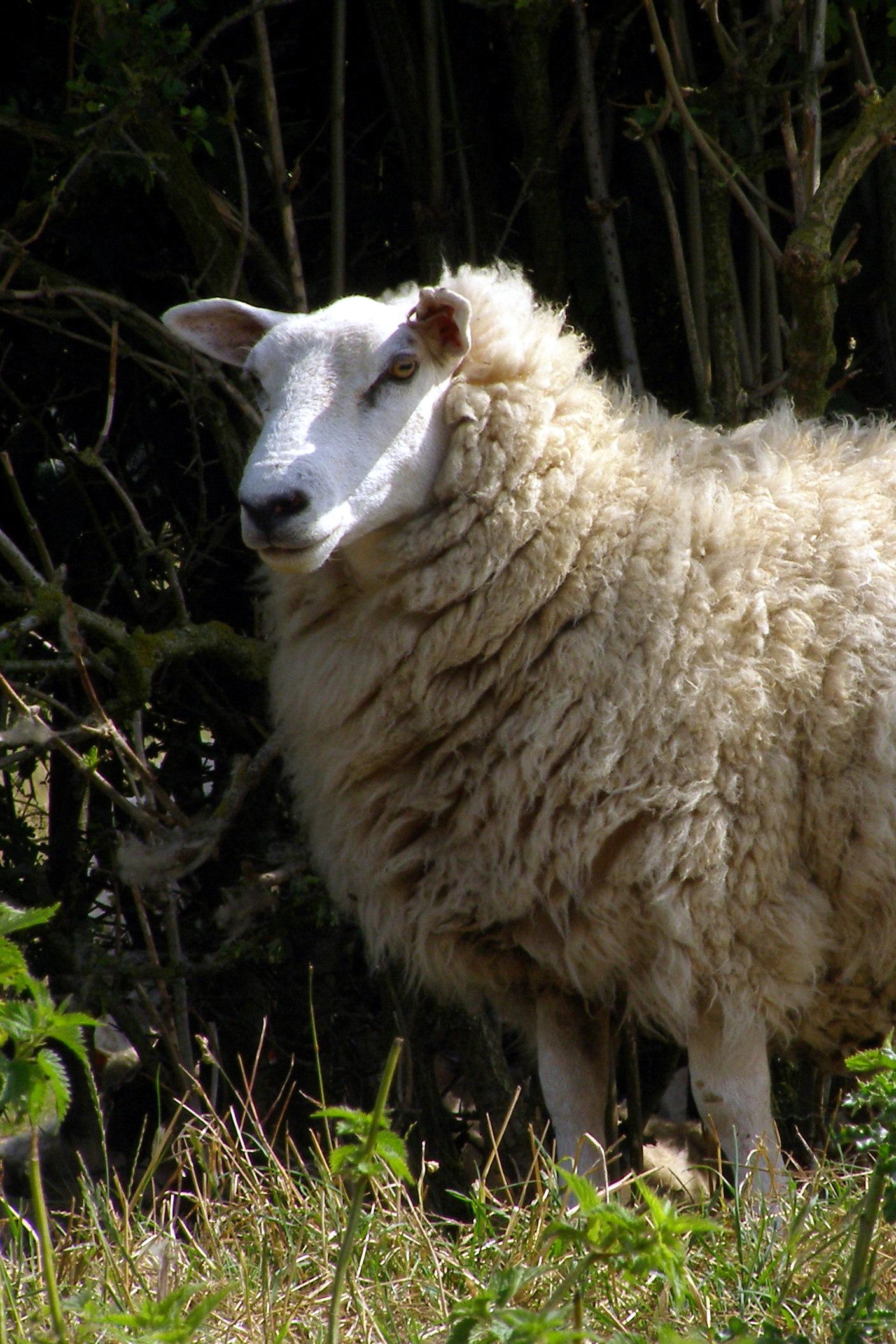 Badbury Rings Sheep   Badbury Rings