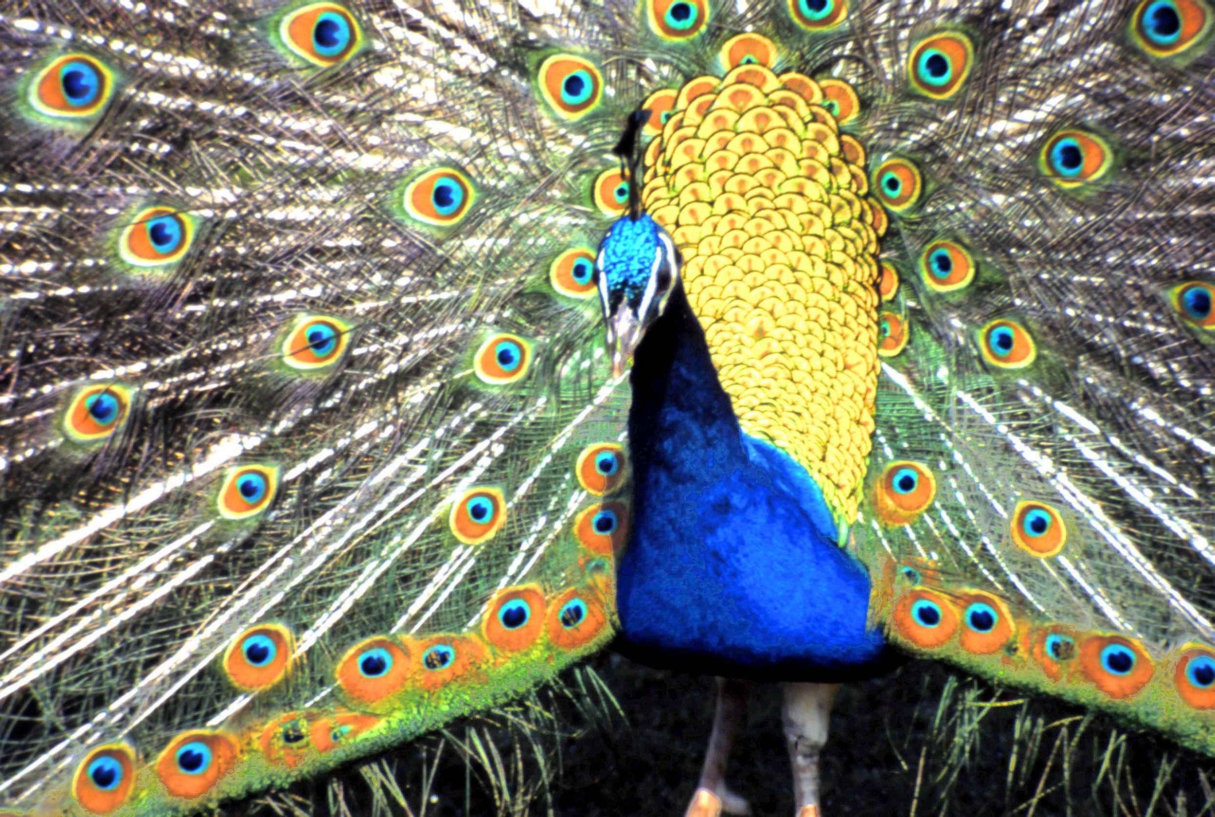 Peacock Display | Brownsea Island