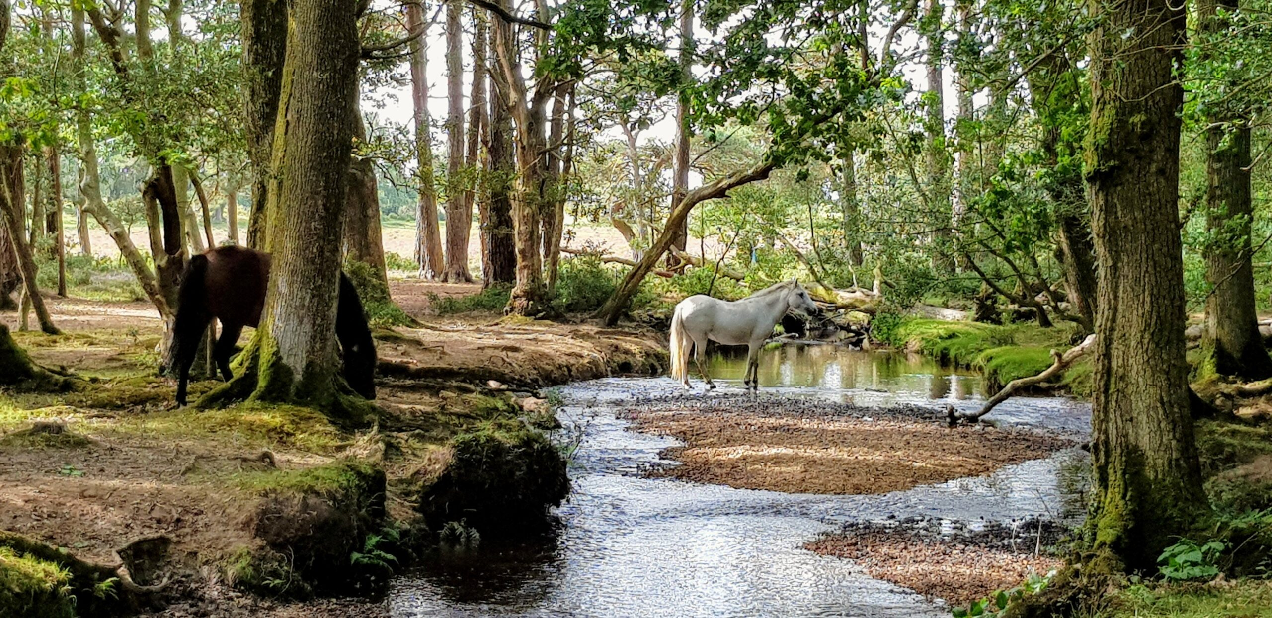 New Forest Pony | Burley