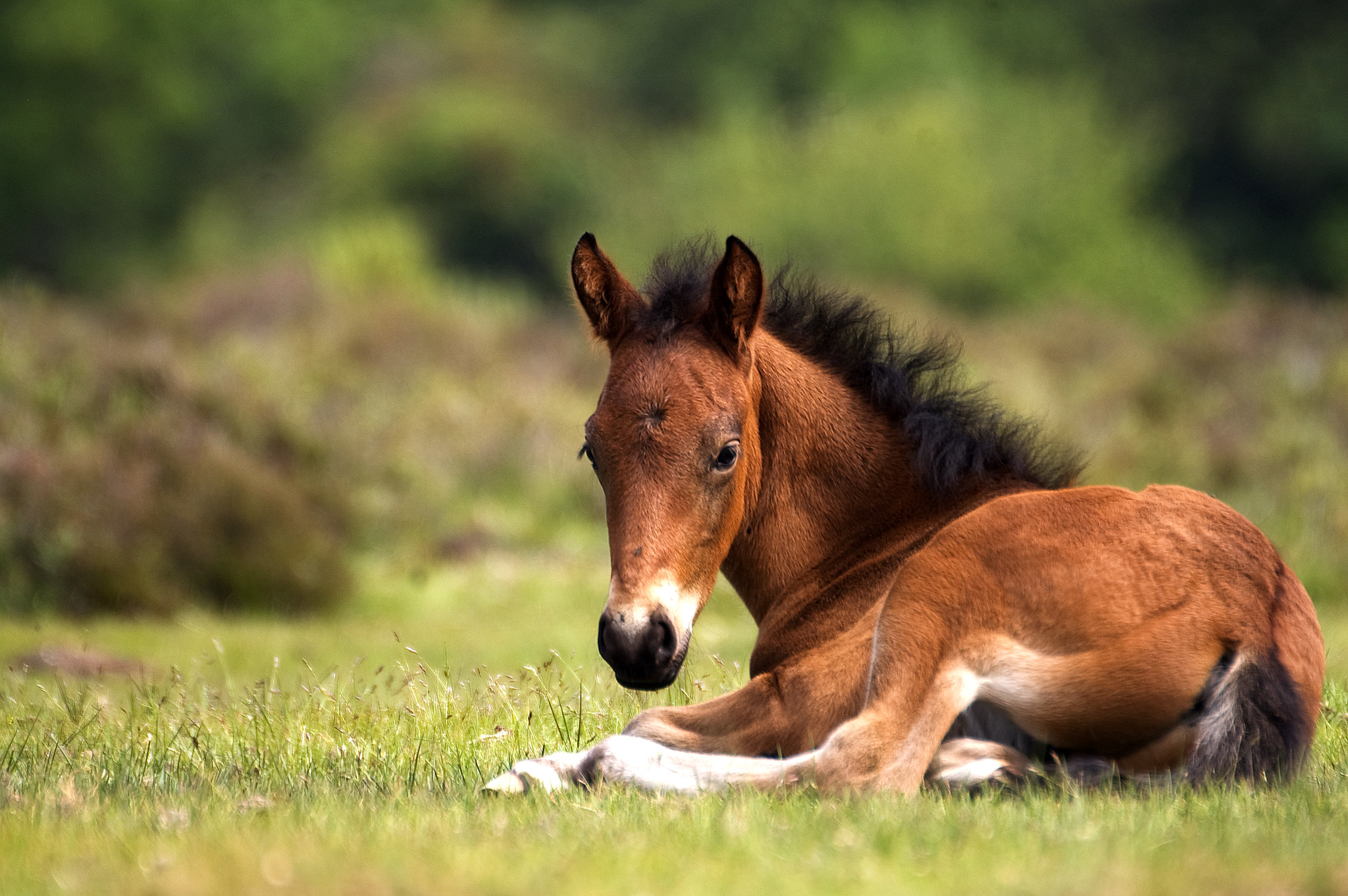 New Forest foal | The New Forest