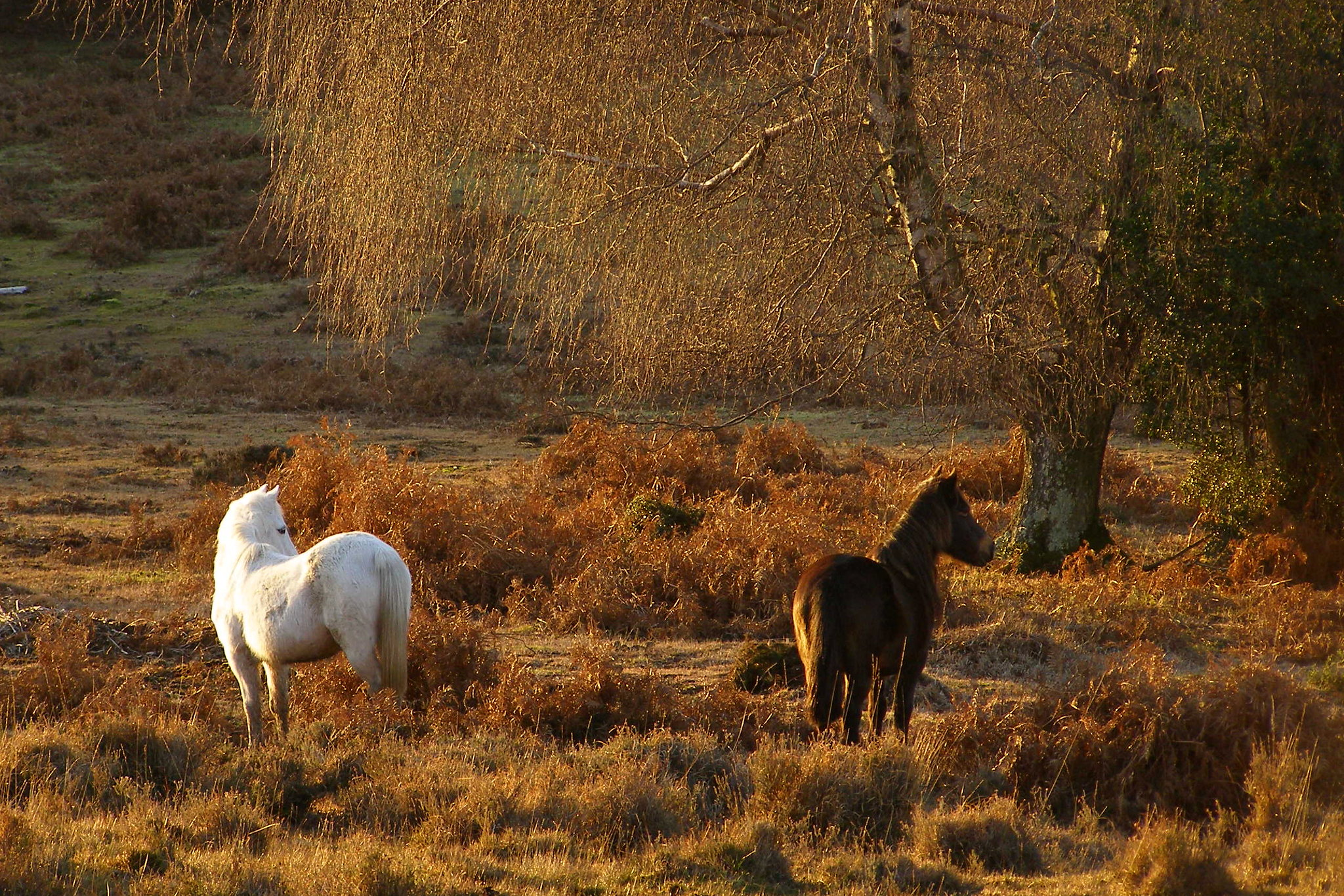 New Forest ponies 3   New Forest Ponies