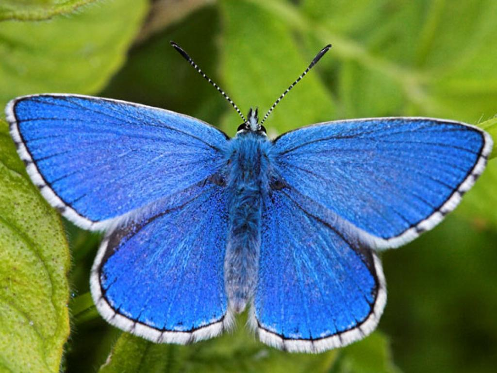 adonis-blue-upperwing-male1–peter-eeles-web | Hod Hill