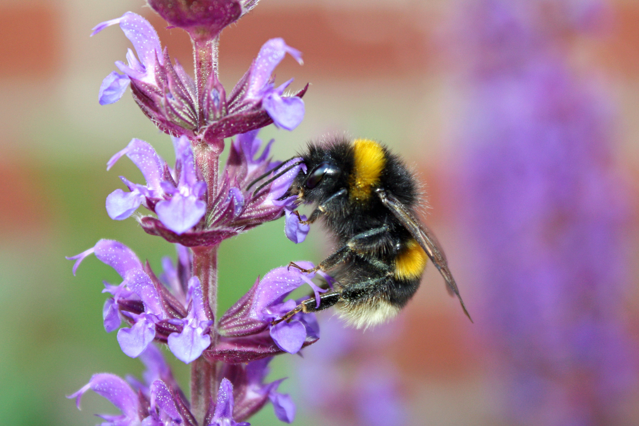 Bumble bee by Tanya Hart | Busy Bees at work: and other pollinators in our landscape