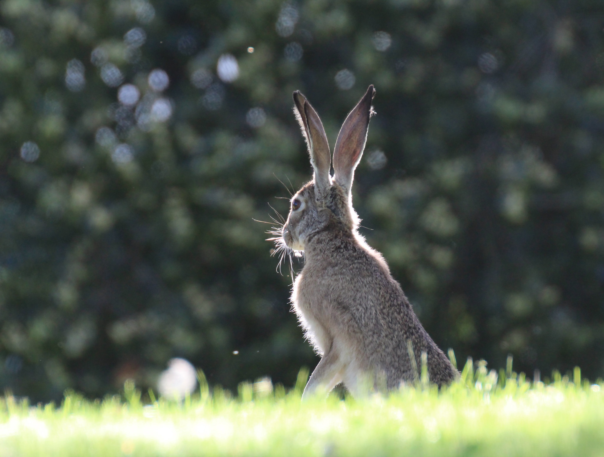 Hare by Mar Gunn   events & activities