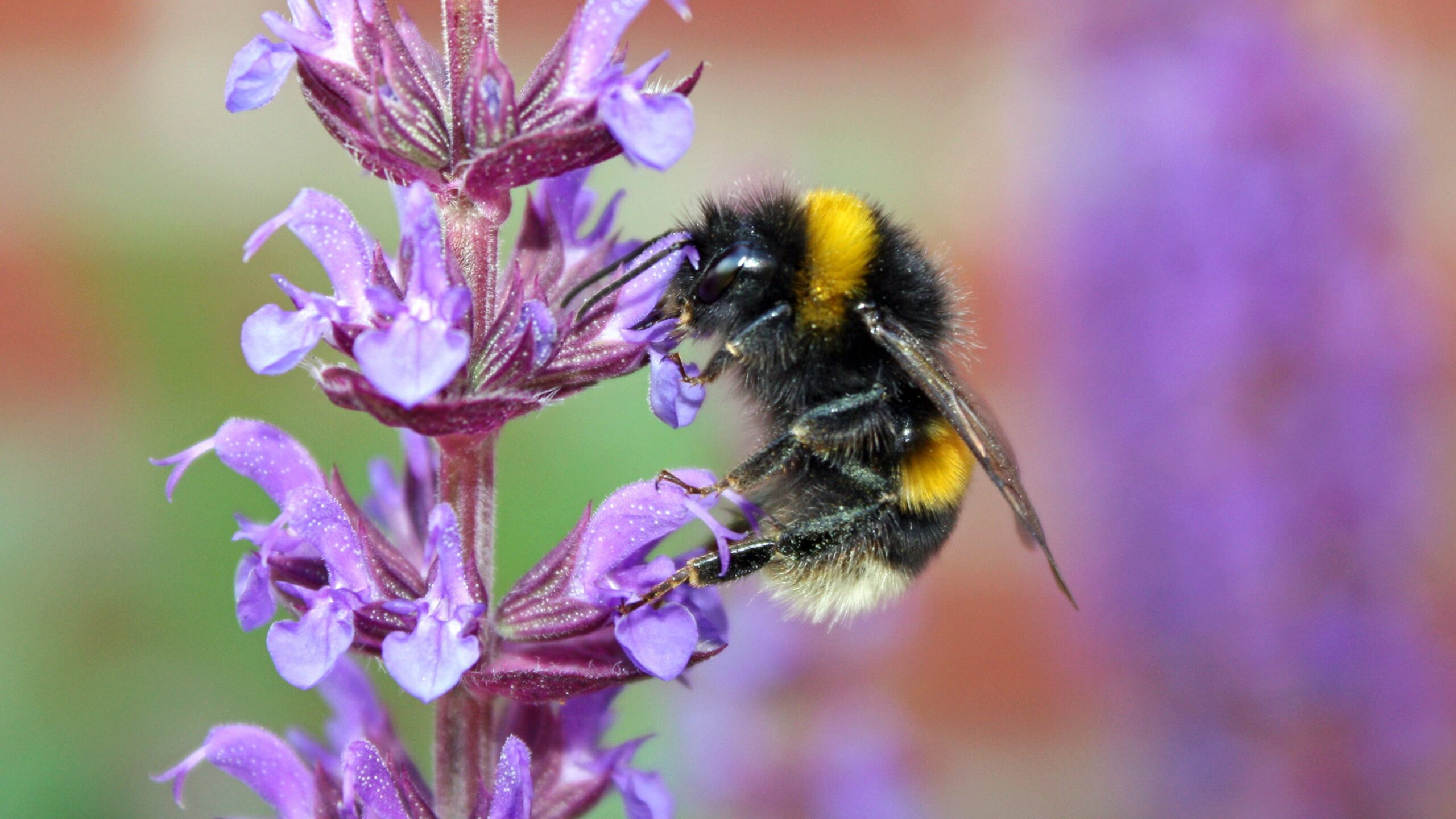 The Bee | Busy Bees at work: and other pollinators in our landscape