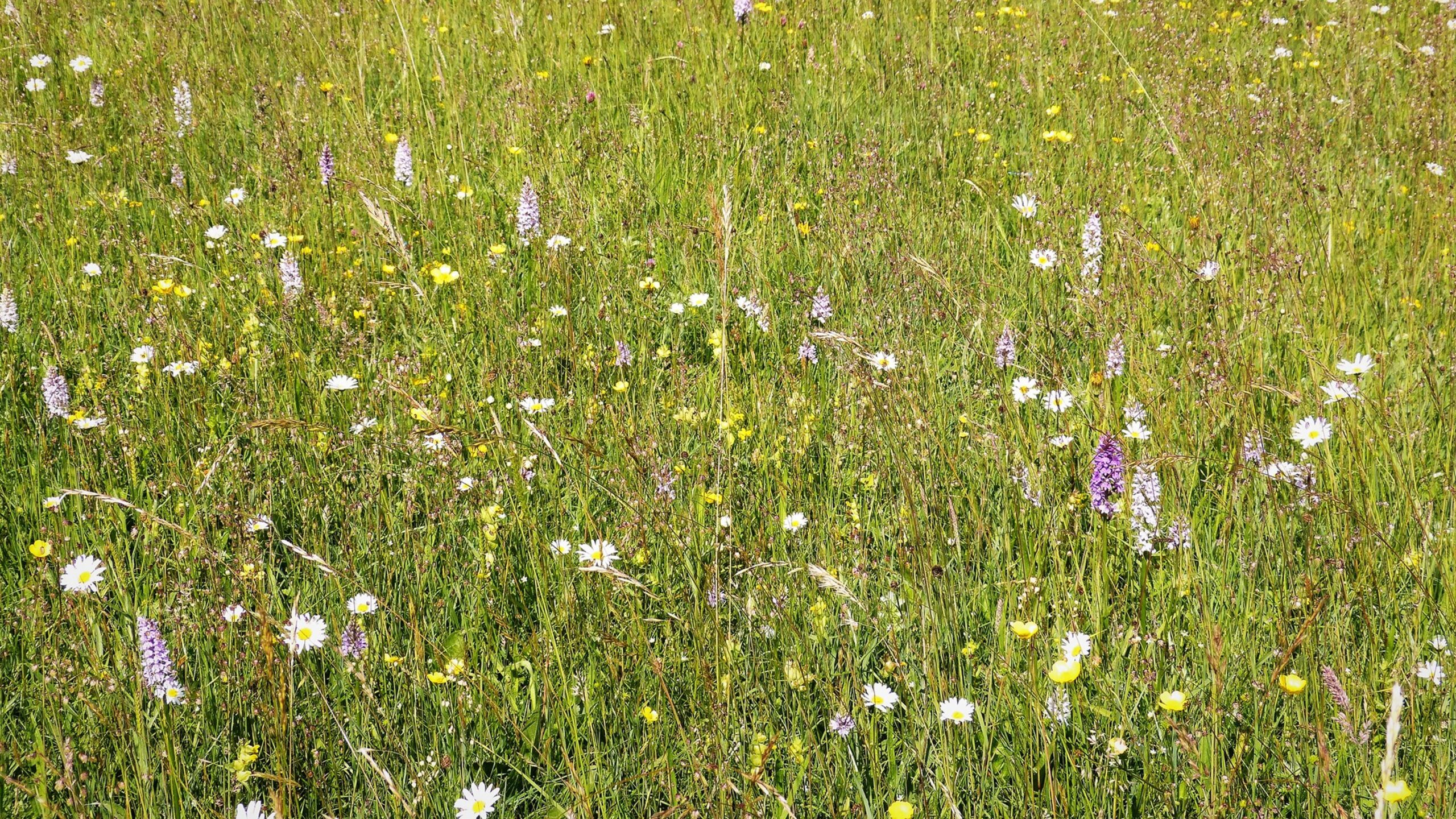 Unimproved Grass Meadow | Busy Bees at work: and other pollinators in our landscape